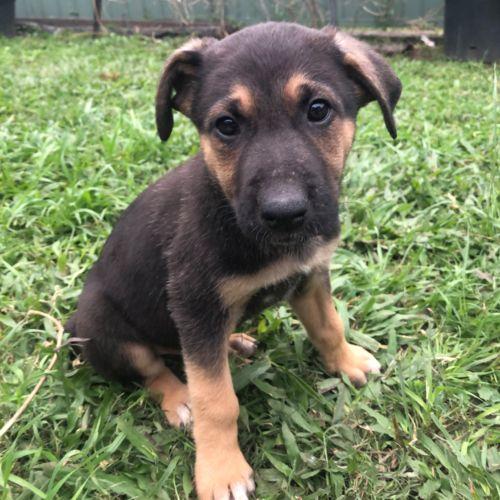 Bobby - German Shepherd Dog