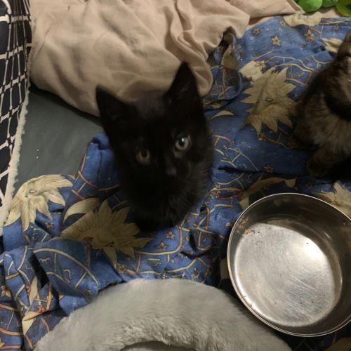 Foxx  - Domestic Short Hair Cat