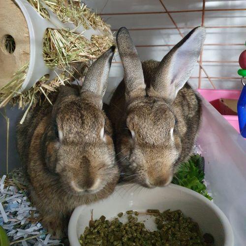 Lhaksa & Tymone - Flemish Giant Rabbit