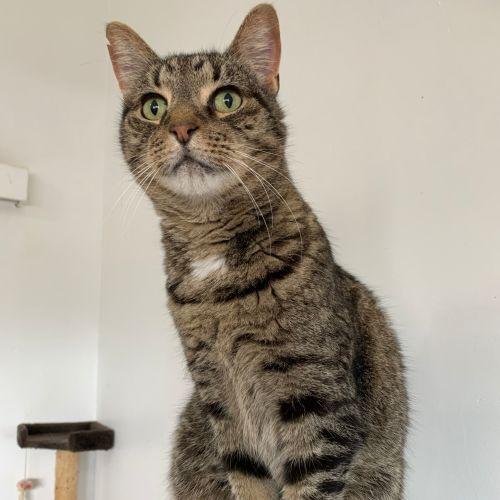 Mr Purrfect  - Domestic Short Hair Cat