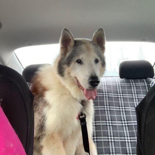 Leah - Alaskan Malamute Dog