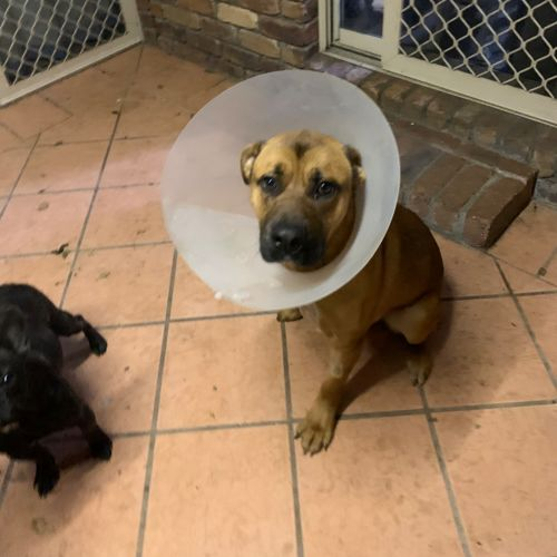 Buddy - Labrador x American Staffordshire Bull Terrier Dog