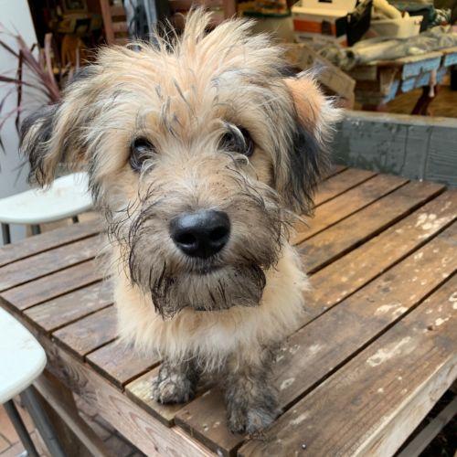 Cheddar - Poodle x Kelpie Dog