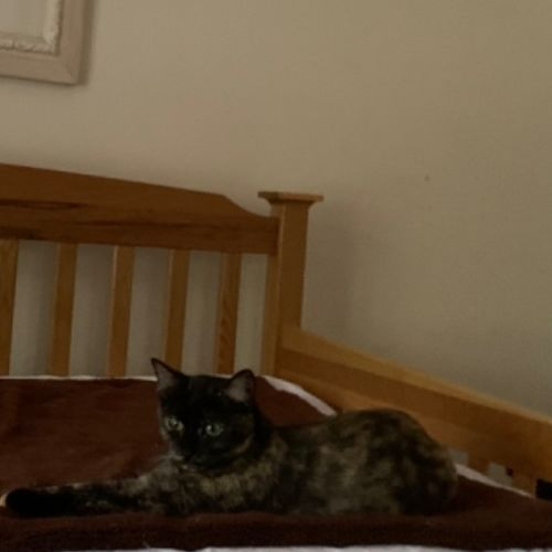 Phoebe - Domestic Short Hair Cat