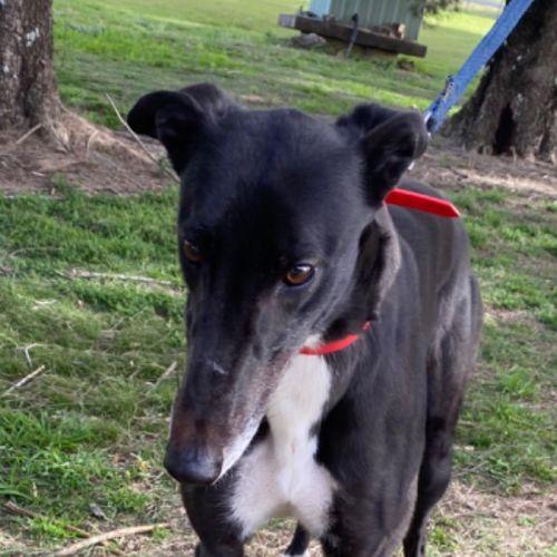 Doris - Greyhound Dog