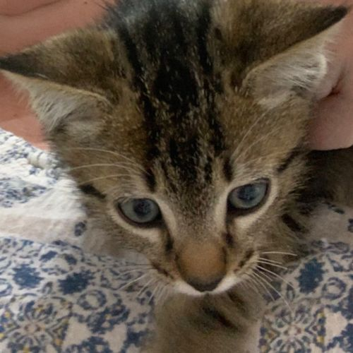 Alvin - Domestic Short Hair Cat