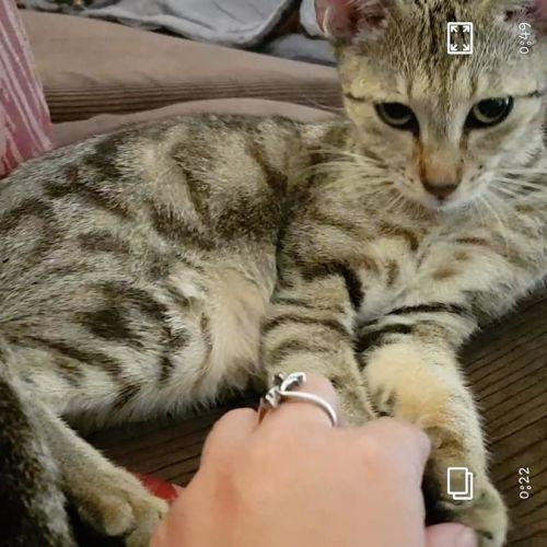 Christina - Domestic Short Hair Cat