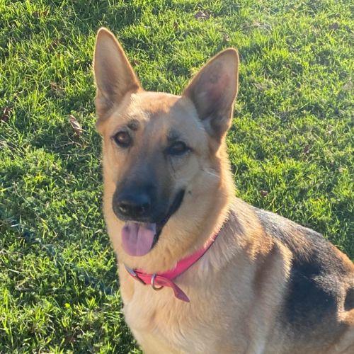 Leia - German Shepherd Dog