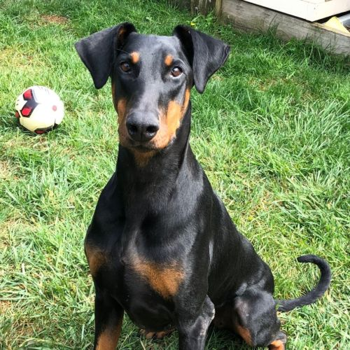 Dobermann 00008157725 - Doberman Dog