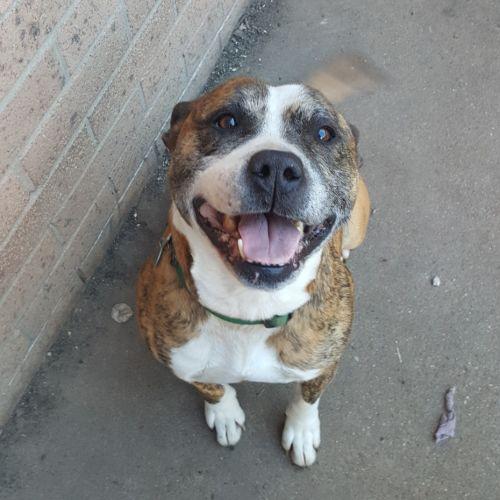 Brutus ~ 7yr Old Staffy - Staffy Dog