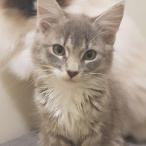 Clarissa - Domestic Medium Hair Cat