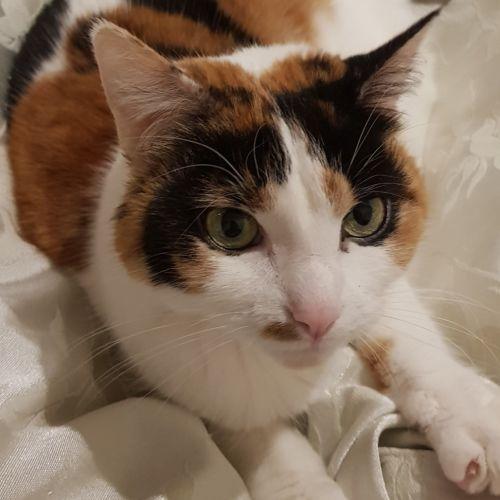 Cassie (Located in Preston) - Domestic Short Hair Cat