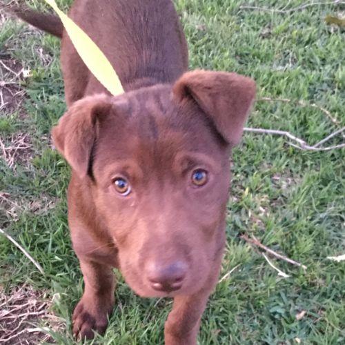 Rowdy - Labrador Dog