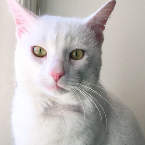 Teddy - Located in Northcote - Domestic Short Hair Cat