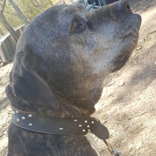 Woof - Neapolitan Mastiff x Mastiff Dog