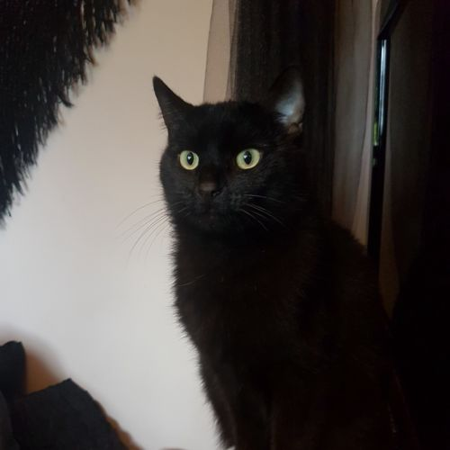 Shadow - Meet me at Neko HQ/Cat Lounge Preston - Domestic Short Hair Cat