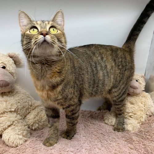 Violet  - Domestic Short Hair Cat