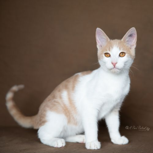 Kimchee - Domestic Short Hair Cat