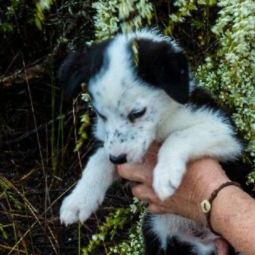 Albi  - Border Collie Dog