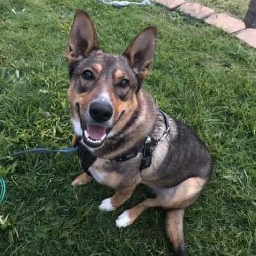 Mia - Staffordshire Bull Terrier x German Shepherd Dog