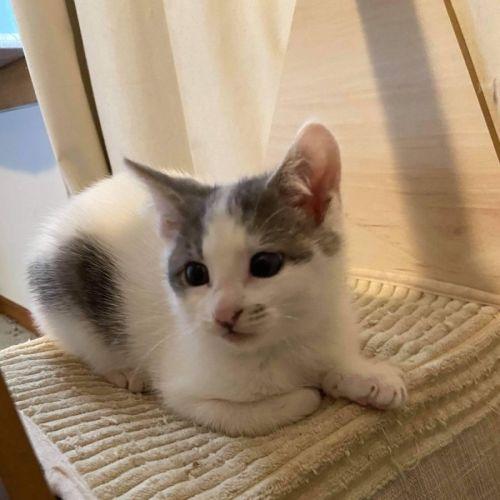 Atticus **2nd Chance Cat Rescue**