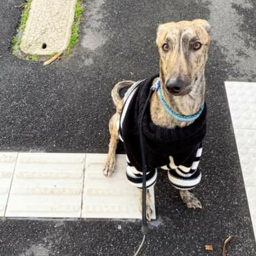 Ollie - Staghound x Whippet Dog