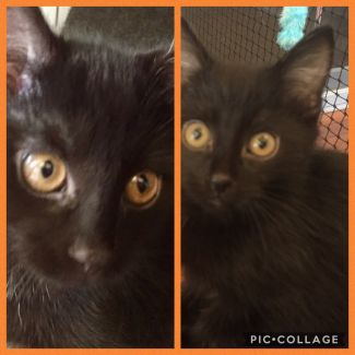 Rescue A Cat Inc. - Pair of Kittens