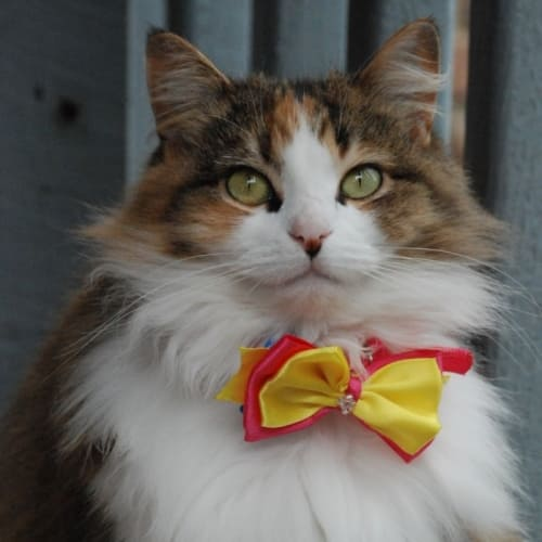 Sheridan~100% lady~ - Domestic Medium Hair Cat