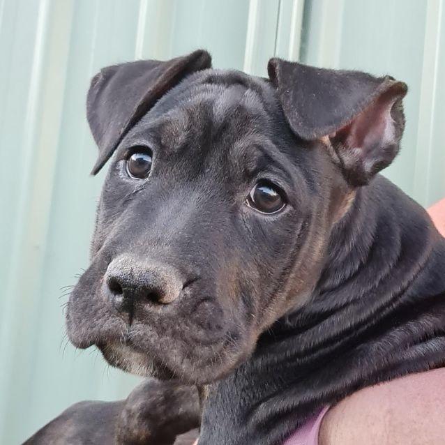 Photo of Lotus ~ Wolfhound X Bull Arab Puppy