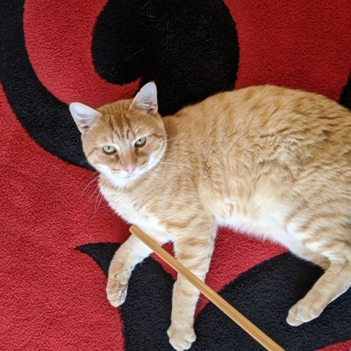 Fred (Located in Cragieburn) - Domestic Short Hair Cat