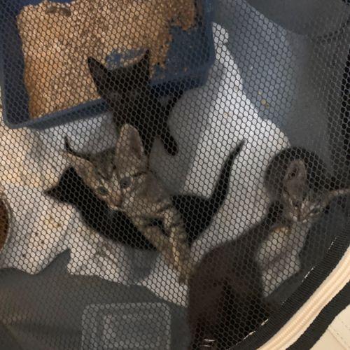 Hunter  - Domestic Short Hair Cat