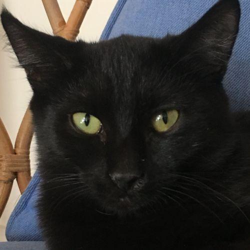 Boo - Located in Preston - Domestic Short Hair Cat