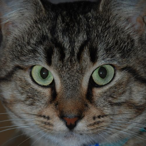 Samson~Smoocher! - Domestic Short Hair Cat