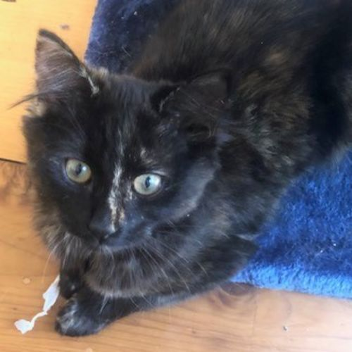 Fluffy - Located in Thornbury - Domestic Medium Hair Cat