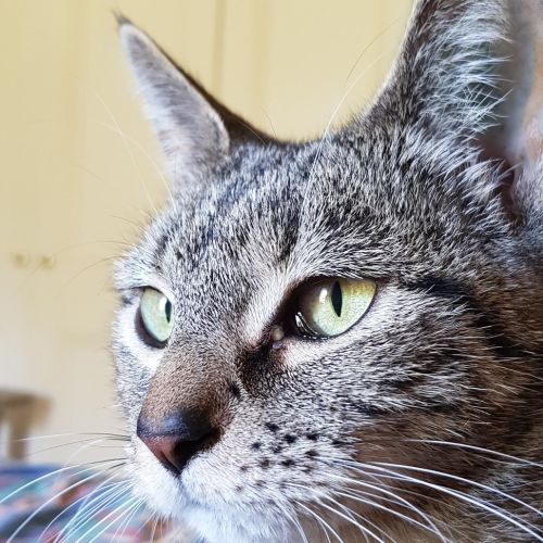 Tinks - Located in Northcote - Domestic Short Hair Cat