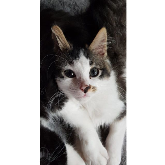 62db61117 Miro Del Rio - Male Domestic Short Hair Cat in VIC - PetRescue