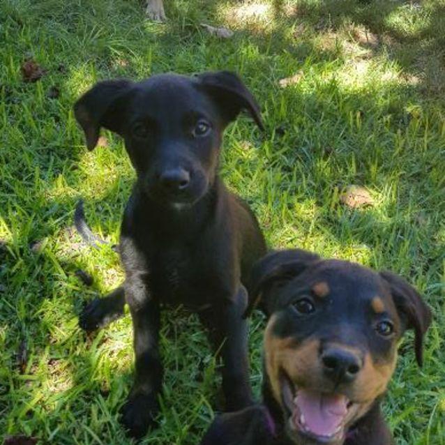 Photo of Puppy Sydney Dl1825