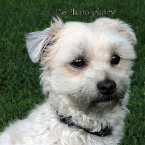 Darcy - Maltese Dog