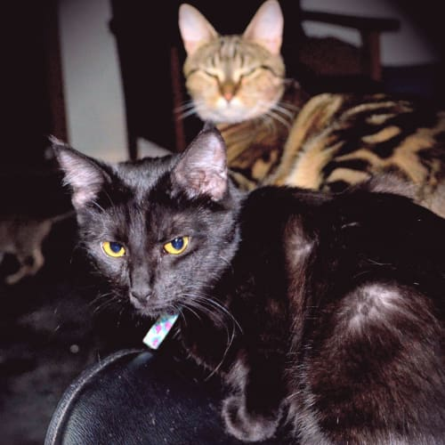 Sherri  - Domestic Short Cat