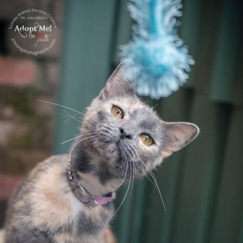 Alice in Wonderland - Domestic Short Hair Cat