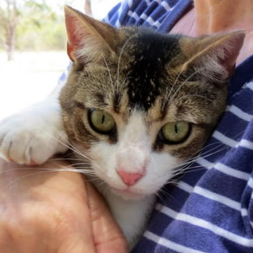 """""""Billy the Kid"""" - Purrfect Match - Abyssinian x Domestic Short Hair Cat"""