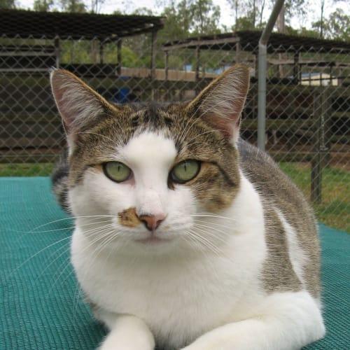 Heidi - Oriental Cat