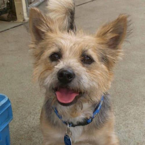 Angus - Australian terrier Dog