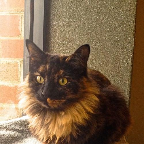 Sasha  - Domestic Long Hair Cat
