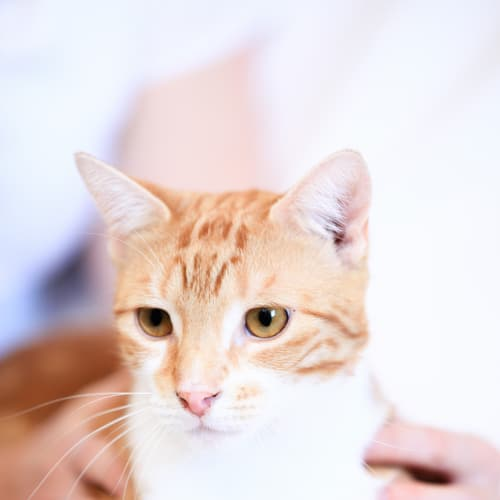 Pound Cats | Angus - Domestic Short Hair Cat
