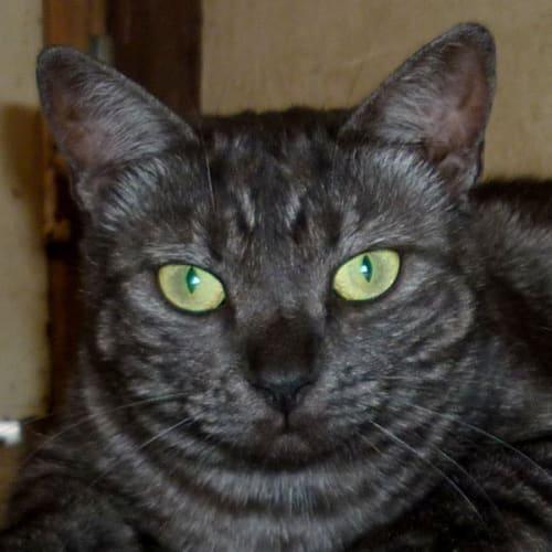 Suraya - Domestic Short Hair Cat