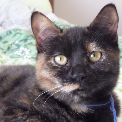 Jasmin * Foster or Adopt - Domestic Short Hair Cat
