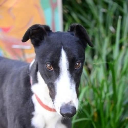 Max - Greyhound Dog