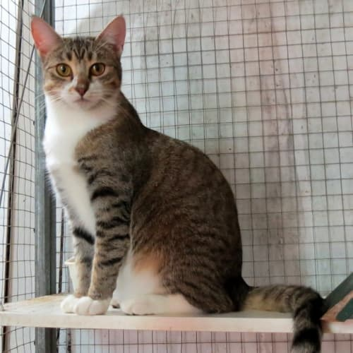 """Betsy"" - Purrfect Match Cat Adoptions  - Domestic Short Hair Cat"