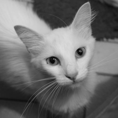 Isis - Domestic Medium Hair Cat